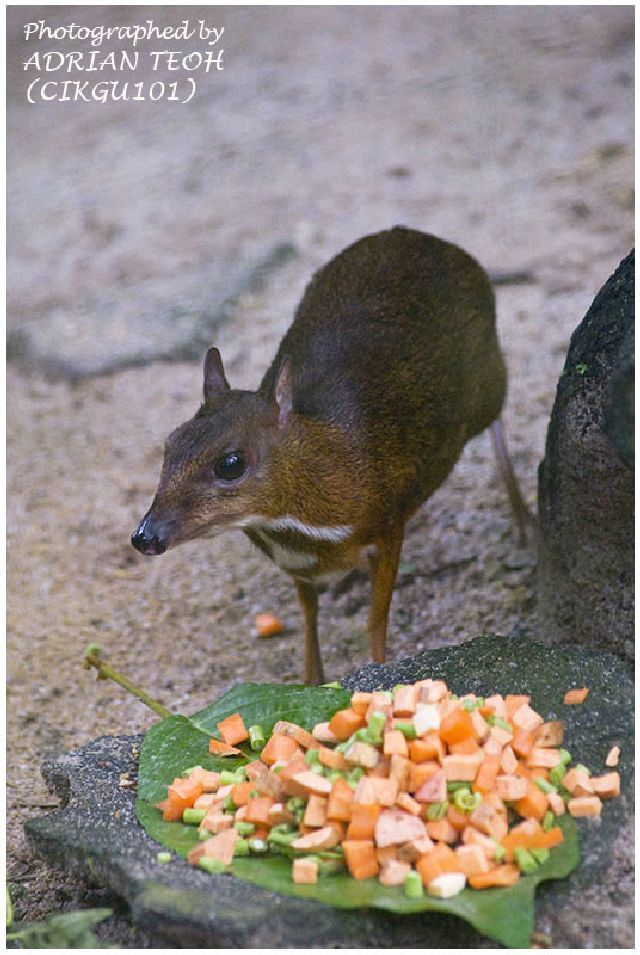 Very Cute Mouse Deer (23 pics)