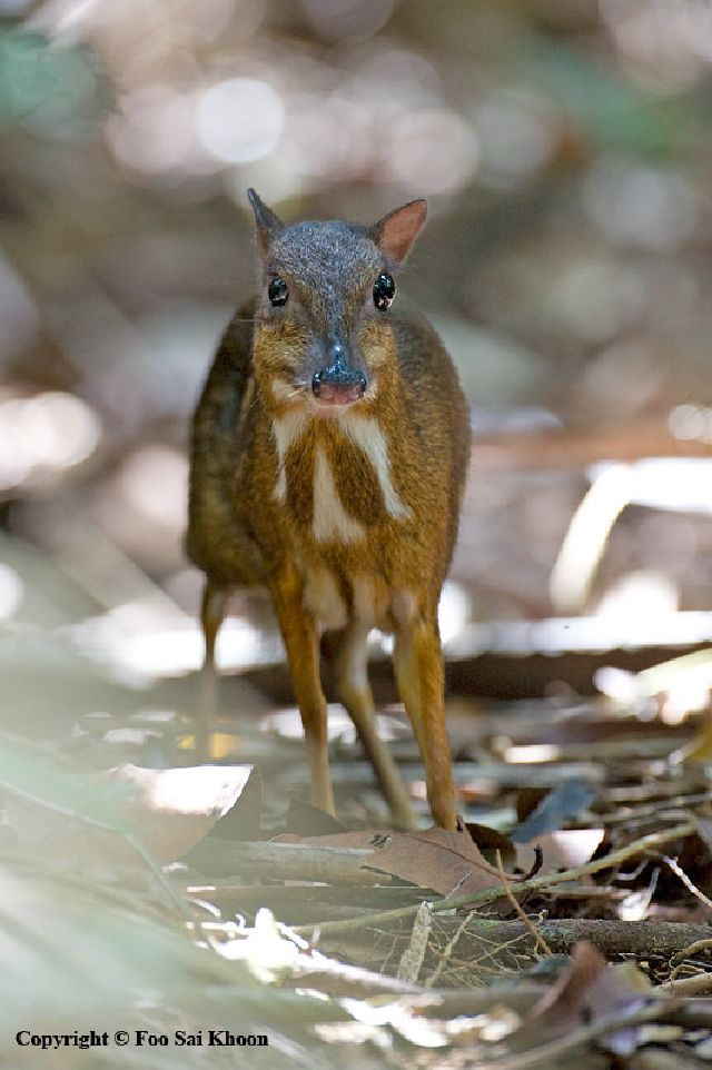 mouse deer - photo #14
