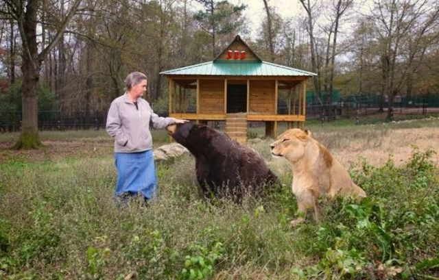Lion, Tiger and Bear Living Like Brothers (17 pics)