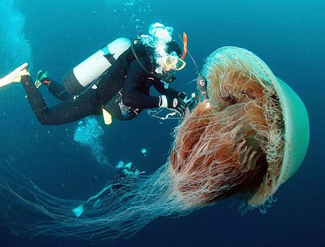 Japan Is Attacked by 200 Kilogram Jellyfish (6 pics)