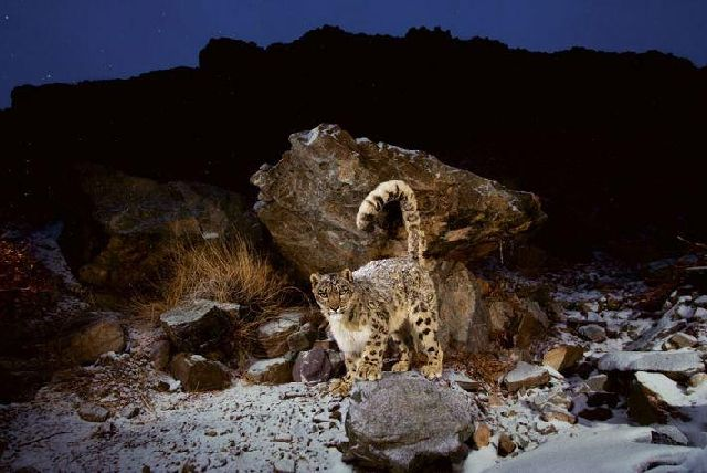 Beautiful Pictures of Snow Leopard (13 pics)