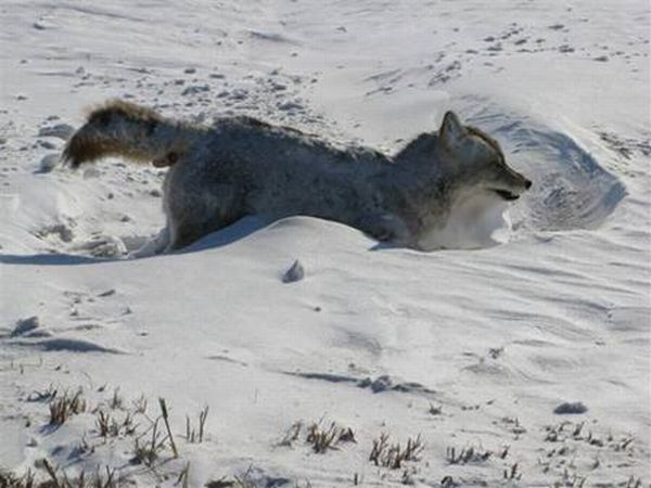 WTF Happened to this Coyote? (4 pics)