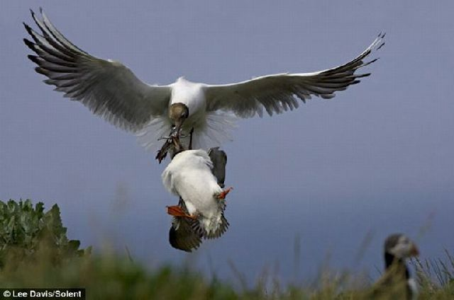 Seagulls Will Steal Anything They Can (5 pics)