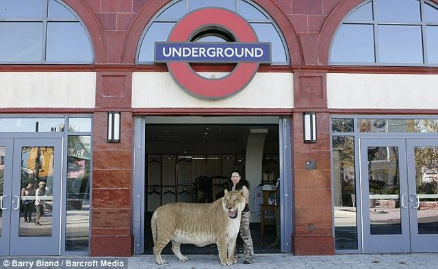 Do You Usually Bump into Ligers on London Streets? (7 pics)
