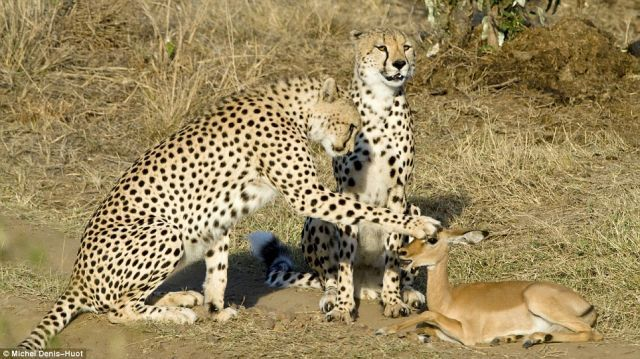 Since The Cheetah Isn't Hungry The Impala Is Not In Danger (4 pics)