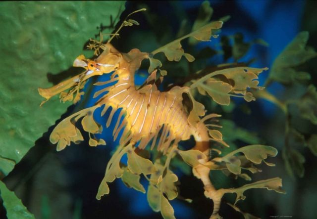 Fascinating Sea Dragons (19 pics)