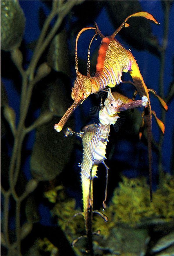 Fascinating Sea Dragons (19 pics)