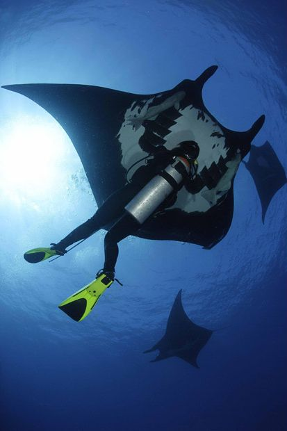 Manta Ray Swimming with Divers (9 pics)