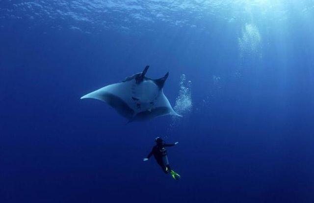 Manta Ray Swimming with Divers (9 pics)