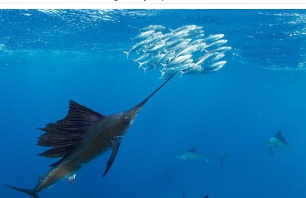 Atlantic Sailfish on a Sardines Hunt (6 pics)