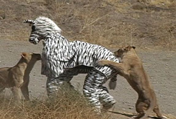 zebras and lions - photo #12