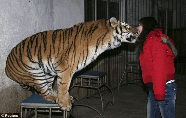 Messing with a Tiger (3 pics)