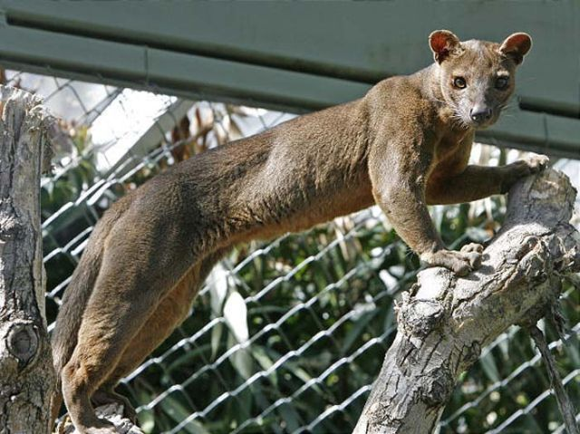 Fossa eats Lemurs when it isn't sleeping (30 pics)
