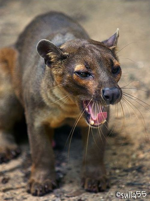 fossa eats lemurs when it isn�t sleeping 30 pics