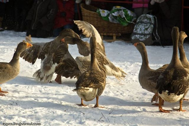 Russian Tradition : Goose Fight (8 pics)