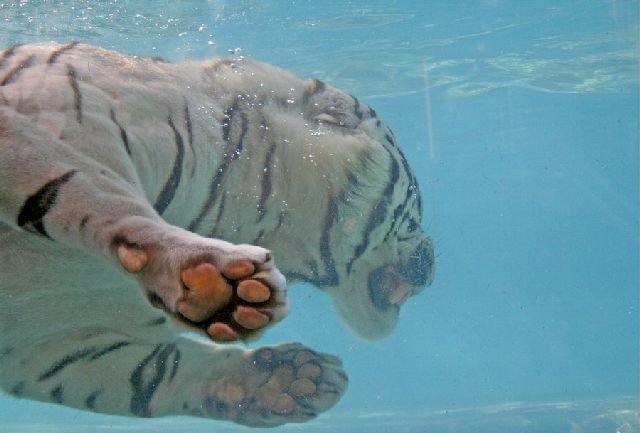 Oldie - White Bengal Tiger Enjoying Its Meal Underwater (29 pics)
