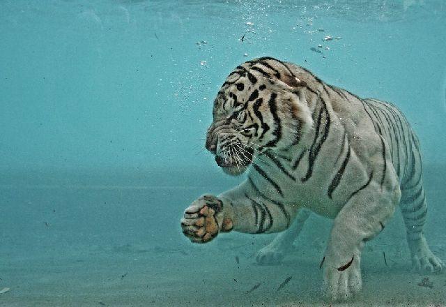 Oldie - White Bengal Tiger Enjoying Its Meal Underwater (29 pics)