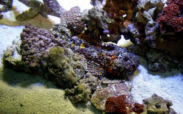 Deadly Stonefish (20 pics)