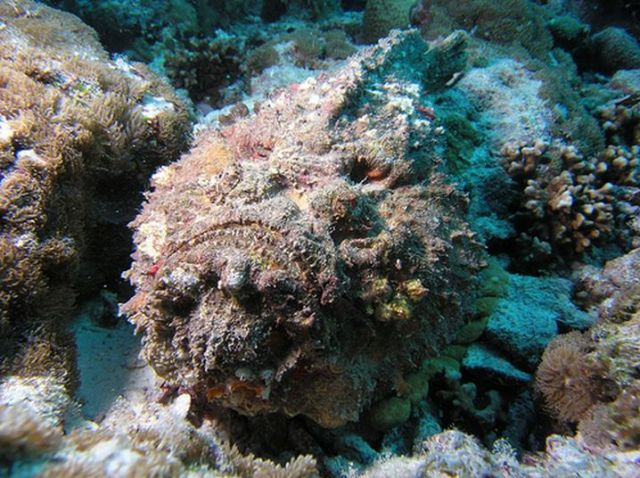 Deadly Stonefish (20 pics)