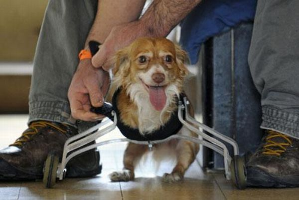 A Wheelchair for A Dog (4 pics + 1 video)