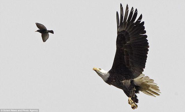 Hungry Bald Eagle (4 pics)