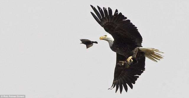 Hungry Bald Eagle (4 pics)