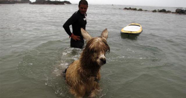 Watch Alpaca Surf! (5 pics)