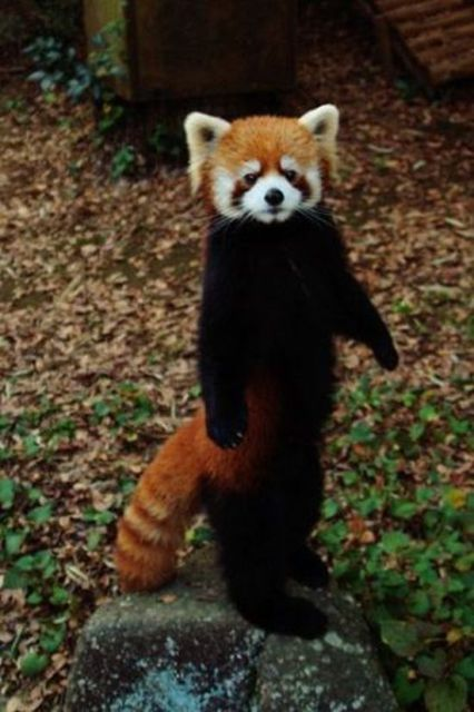 Skin Request Red Panda Skins Mapping And Modding Java Edition