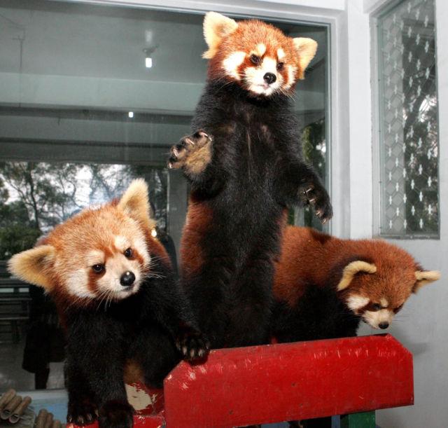 "Exotic Red Panda or ""Shining Cat"" (21 pics)"