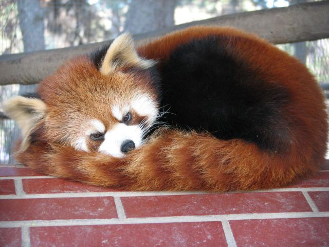 "Exotic Red Panda or ""Shining Cat"" (21 pics)"