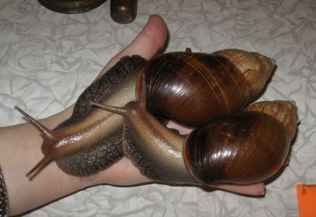 Snailzillas! (22 pics + 2 videos)