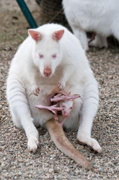 Albino Kangaroos (7 pics)