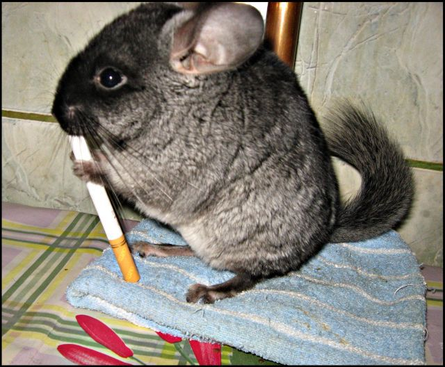 Little Cute Chinchilla (5 pics)