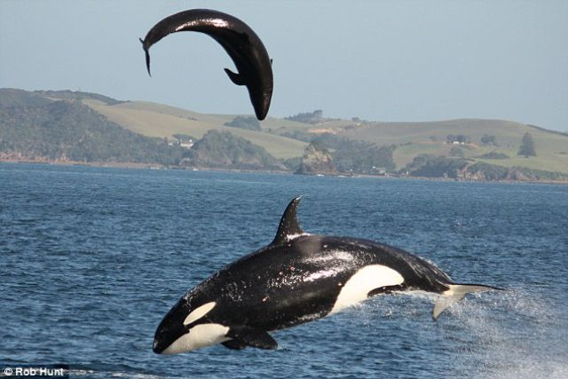 Killer Whale Attacking a Dolphin (3 pics)