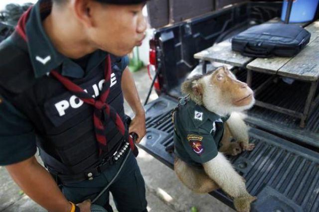 A Cop Monkey (9 pics)