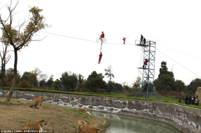 Dangerous Games with Tigers (5 pics)