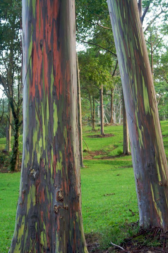 Colorful Eucalyptus (7 pics)