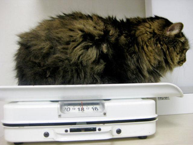 Fatty Cats (62 pics)