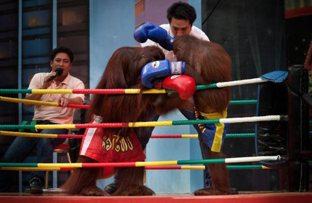 Orangutan Boxing Show (14 pics)