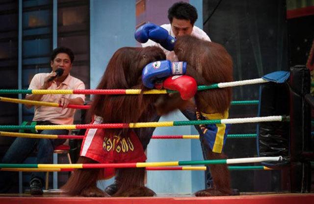 Shiv Naresh Teens Boxing Gloves 12oz: Orangutan Boxing Show (14 Pics)