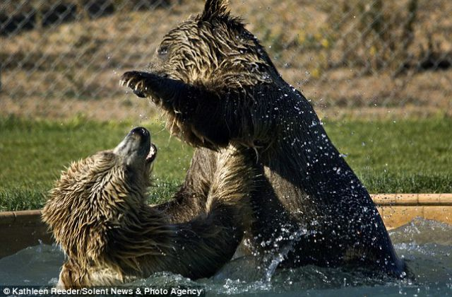 Chasing Games with Grizzly Bears (6 pics)