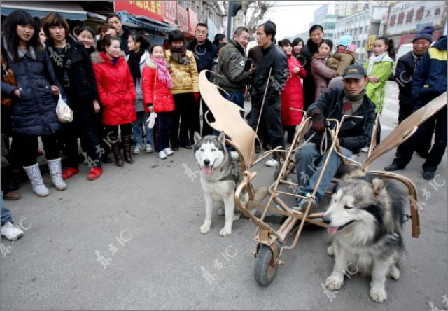 Huskies Can Pull Not Only Sleds (10 pics)