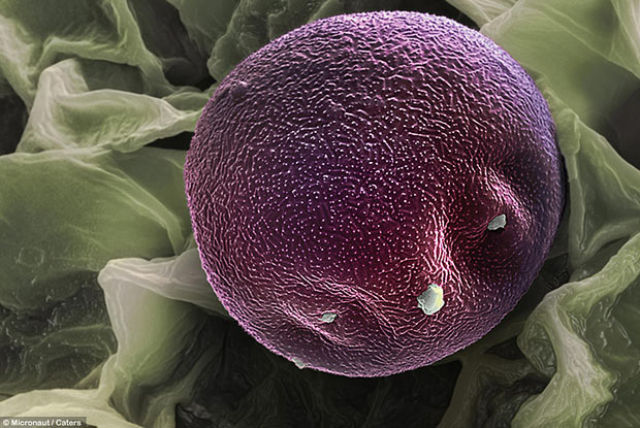 Awesome Microscope Images of Pollen Grains (17 pics)