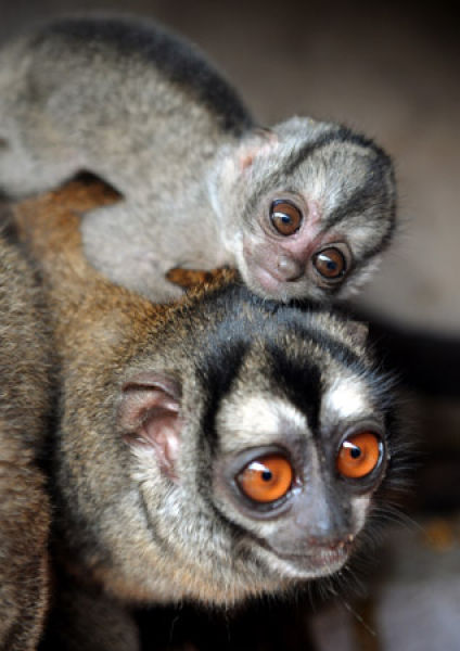 animals sweet baby owl amazing monkey cute monkeys izismile ever mom
