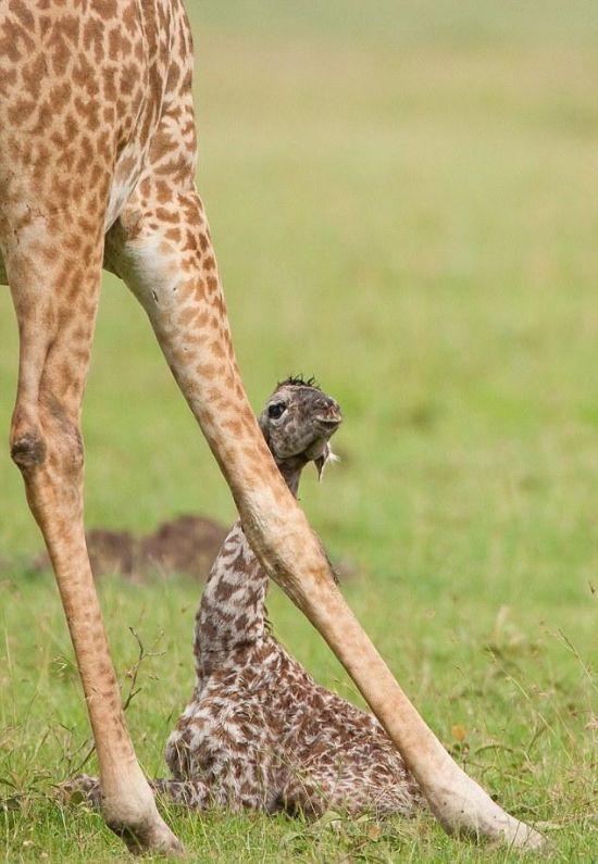 Newly Born Baby Giraffe (8 pics)