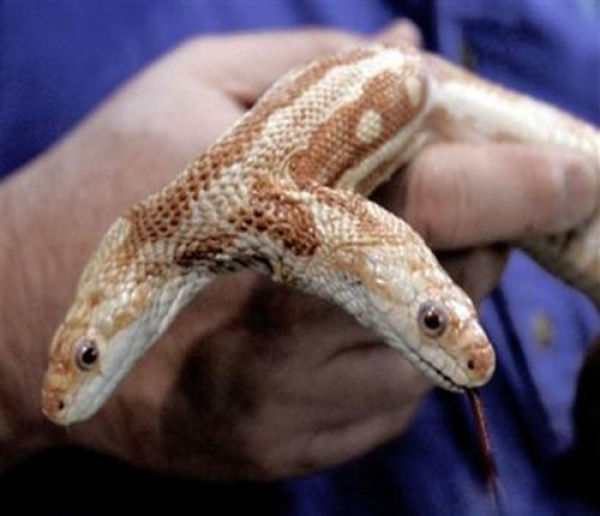 Snakes with Two Heads (28 pics)