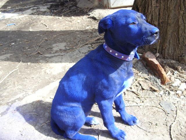 Blue Dog (7 pics)