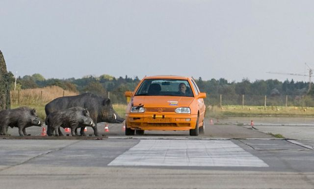 Crash Test: Car vs. Boars (3 pics)