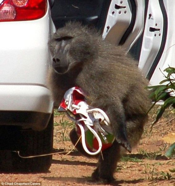 A Baboon Purse Thief (4 pics)