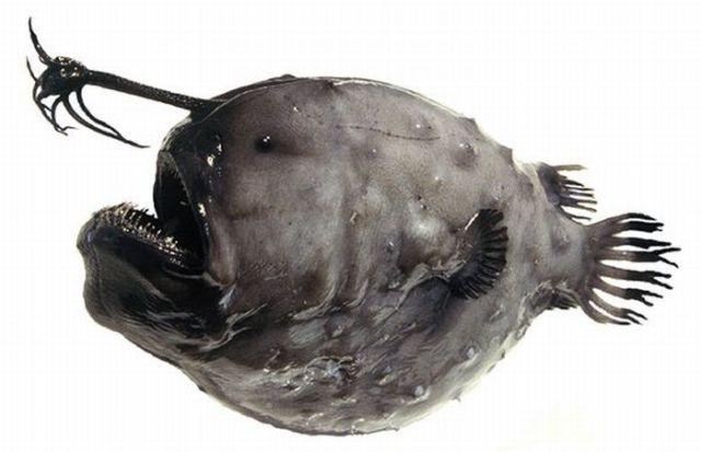 Scary Looking Greenland Fish (7 pics)